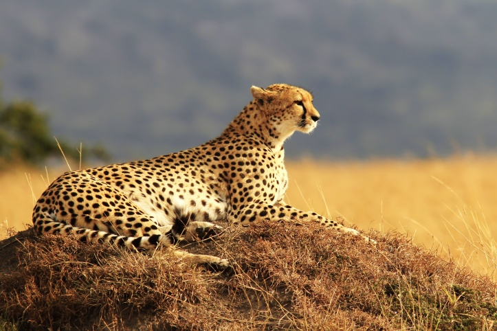 Cheetah on the Masai Mara in Africa