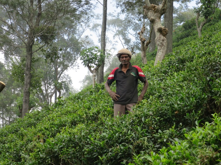 Banderawalla_tea_plantation_day_7_b[1].JPG