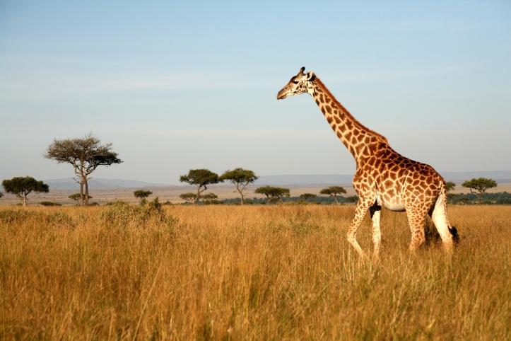 kenya safari giraffe (1).jpg